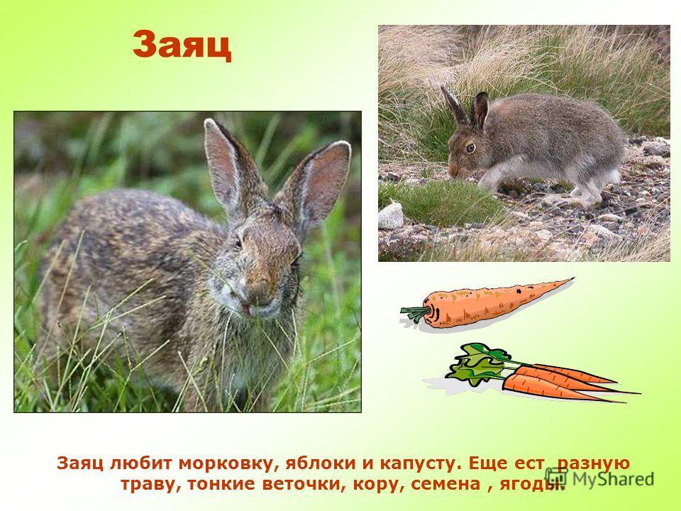Заяц Заяц самое пугливое животное. Чуть услышит какой шорох – сразу бежать – он отличный спортсмен! Летом заяц серый, а зимой меняет шубку на белый цвет.