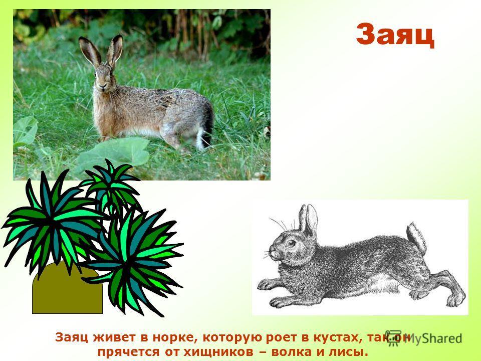Заяц Заяц любит морковку, яблоки и капусту. Еще ест разную траву, тонкие веточки, кору, семена, ягоды.