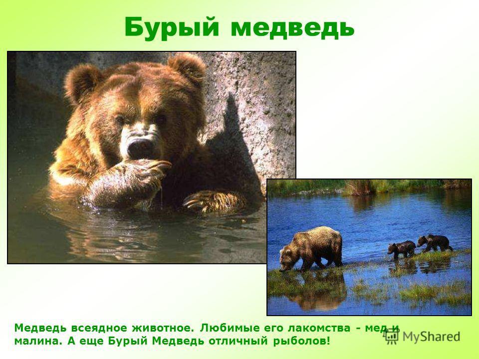 Бурый медведь Бурый медведь живет в лесу, любит лазить по деревьям. Несмотря на неуклюжесть, может быстро бегать и хорошо плавает.