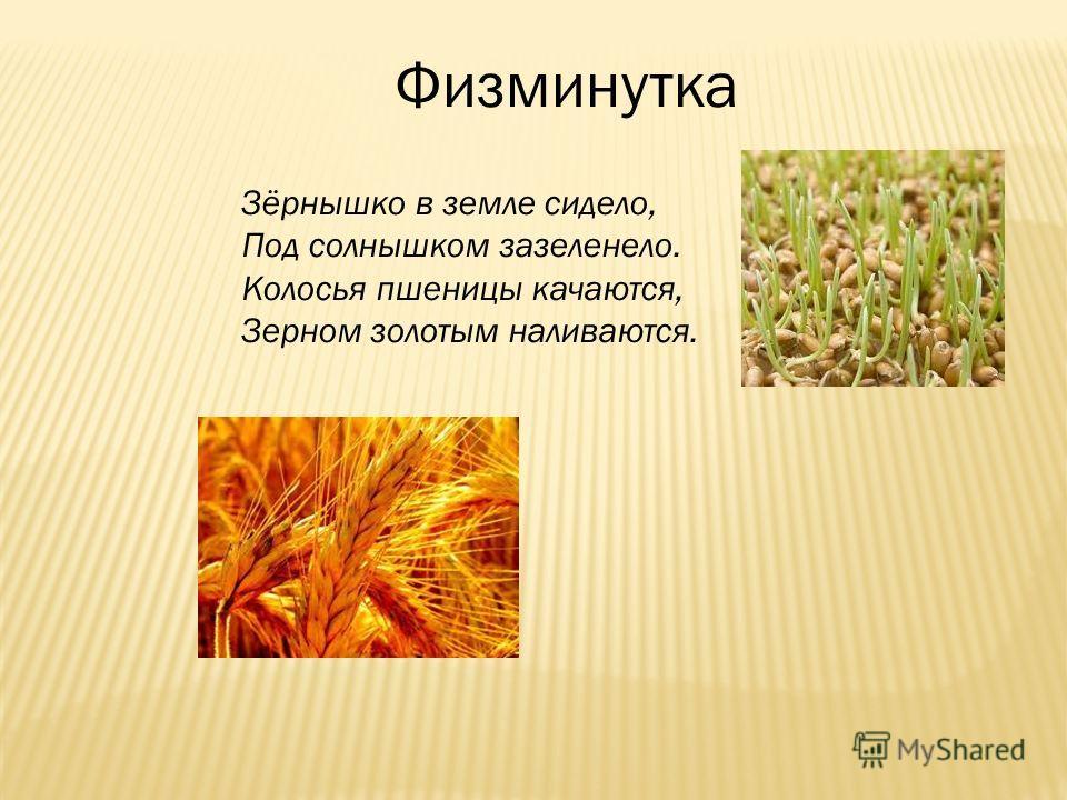 Физминутка Зёрнышко в земле сидело, Под солнышком зазеленело. Колосья пшеницы качаются, Зерном золотым наливаются.