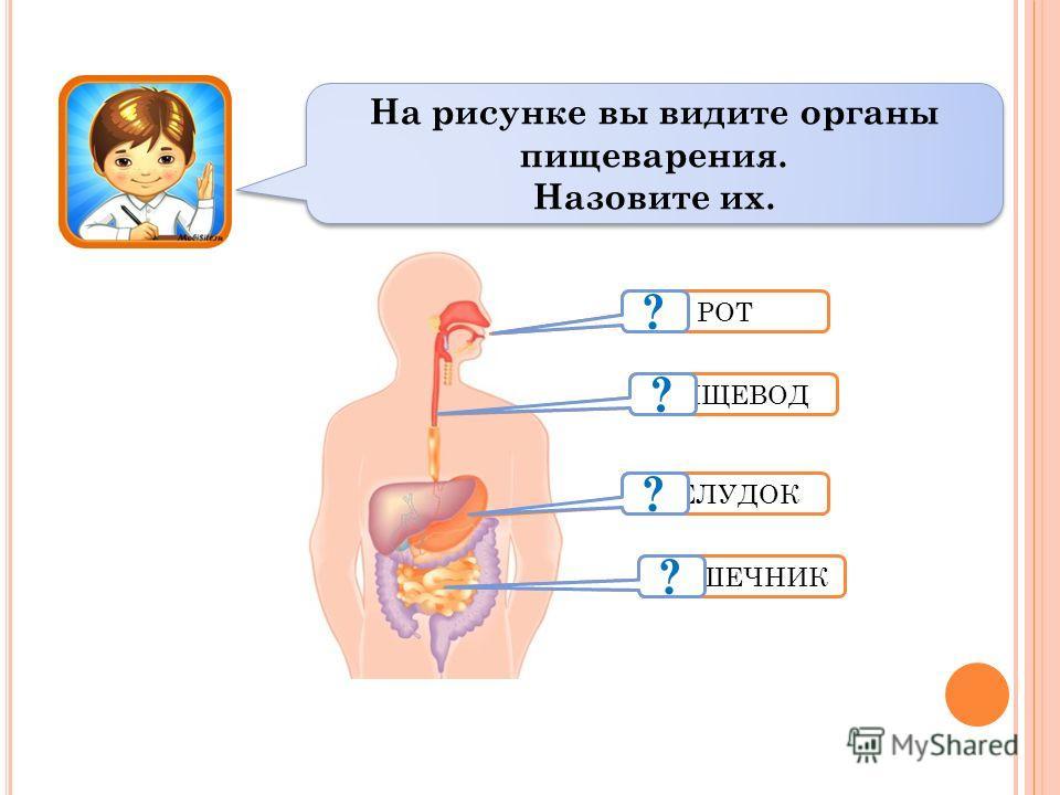 РОТ ПИЩЕВОД ЖЕЛУДОК КИШЕЧНИК На рисунке вы видите органы пищеварения. Назовите их. На рисунке вы видите органы пищеварения. Назовите их. ? ? ? ?