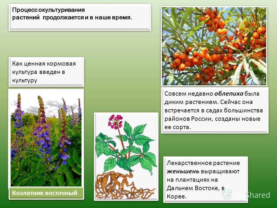 Козлятник восточный Процесс окультуривания растений продолжается и в наше время. Процесс окультуривания растений продолжается и в наше время. Как ценная кормовая культура введен в культуру Как ценная кормовая культура введен в культуру Совсем недавно
