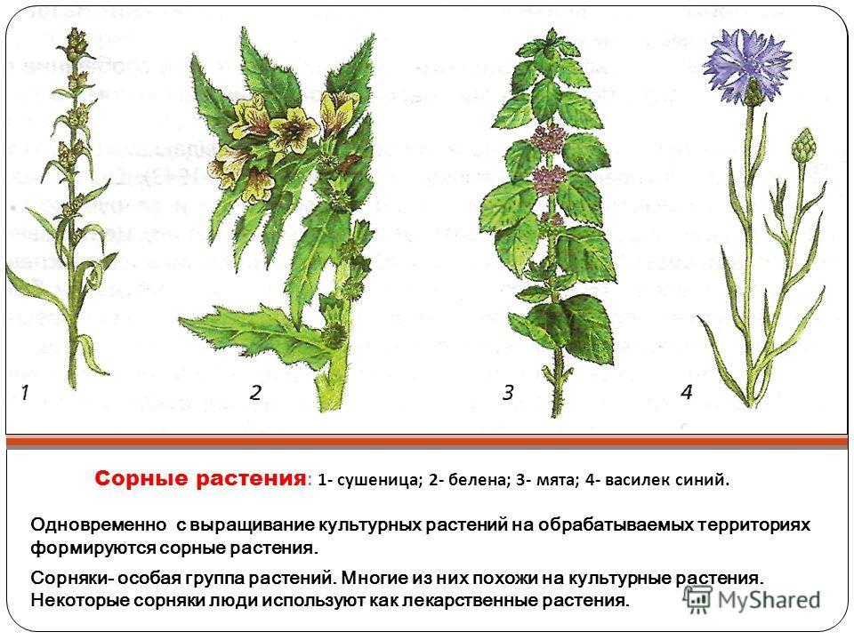 Сорные растения : 1- сушеница ; 2- белена ; 3- мята ; 4- василек синий. Одновременно с выращивание культурных растений на обрабатываемых территориях формируются сорные растения. Сорняки- особая группа растений. Многие из них похожи на культурные раст