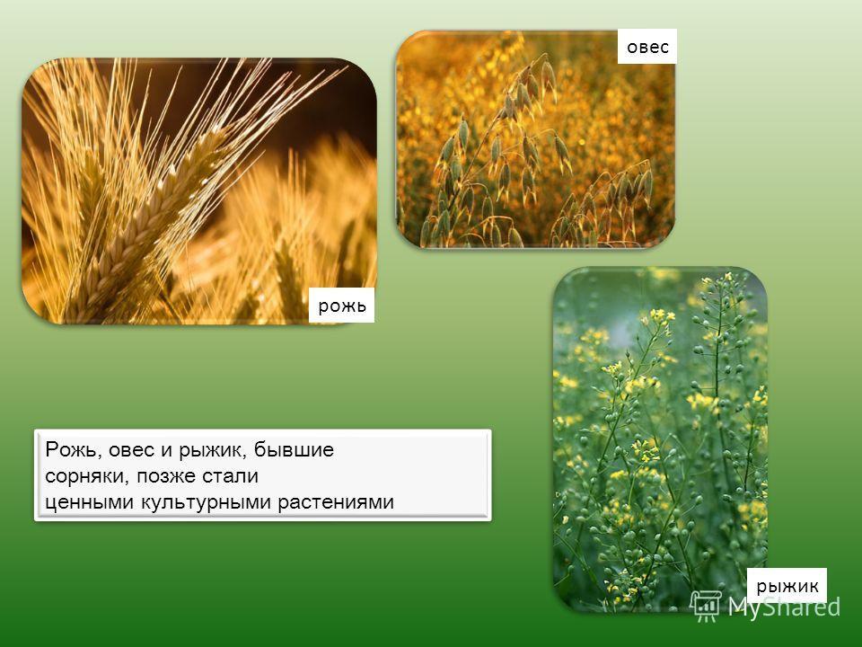 Рожь, овес и рыжик, бывшие сорняки, позже стали ценными культурными растениями Рожь, овес и рыжик, бывшие сорняки, позже стали ценными культурными растениями овес рожь рыжик
