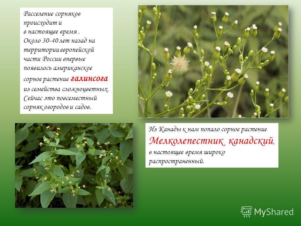 Расселение сорняков происходит и в настоящее время. Около 30-40 лет назад на территории европейской части России впервые появилось американское сорное растение галинсога из семейства сложноцветных. Сейчас это повсеместный сорняк огородов и садов. Из