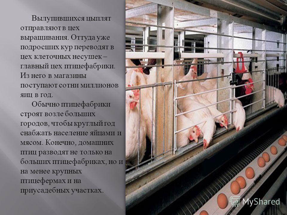 Вылупившихся цыплят отправляют в цех выращивания. Оттуда уже подросших кур переводят в цех клеточных несушек – главный цех птицефабрики. Из него в магазины поступают сотни миллионов яиц в год. Обычно птицефабрики строят возле больших городов, чтобы к