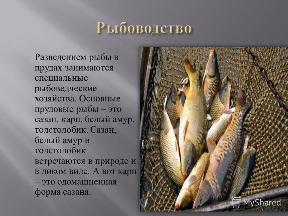 Разведением рыбы в прудах занимаются специальные рыбоведческие хозяйства. Основные прудовые рыбы – это сазан, карп, белый амур, толстолобик. Сазан, белый амур и толстолобик встречаются в природе и в диком виде. А вот карп – это одомашненная форма саз