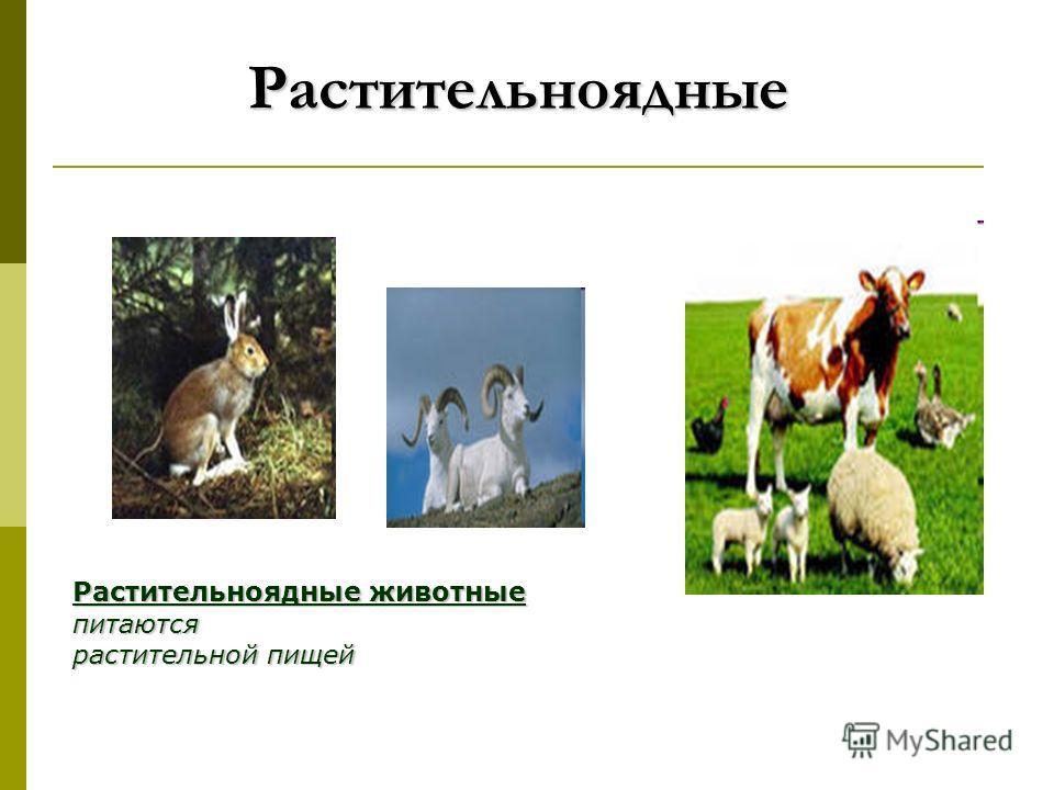 Растительноядные Растительноядные Растительноядные животные питаются растительной пищей