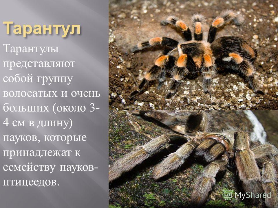Тарантул Тарантулы представляют собой группу волосатых и очень больших ( около 3- 4 см в длину ) пауков, которые принадлежат к семейству пауков - птицеедов.