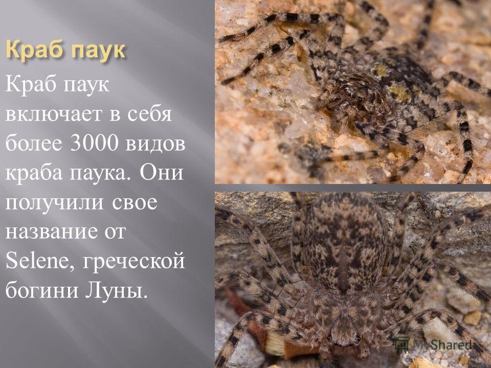 Краб паук Краб паук включает в себя более 3000 видов краба паука. Они получили свое название от Selene, греческой богини Луны.