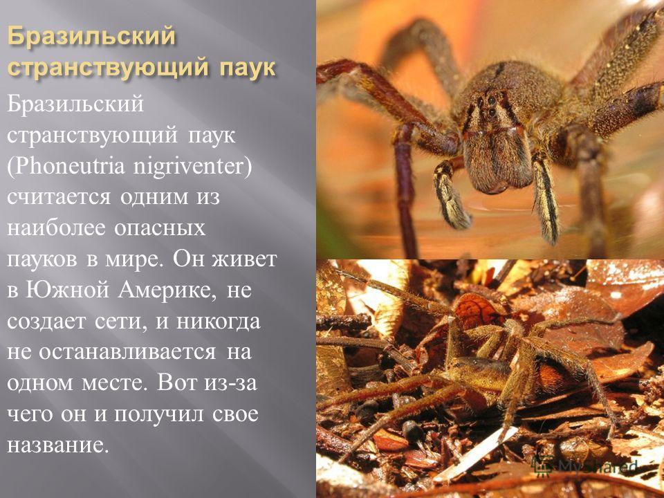 Бразильский странствующий паук Бразильский странствующий паук (Phoneutria nigriventer) считается одним из наиболее опасных пауков в мире. Он живет в Южной Америке, не создает сети, и никогда не останавливается на одном месте. Вот из - за чего он и по