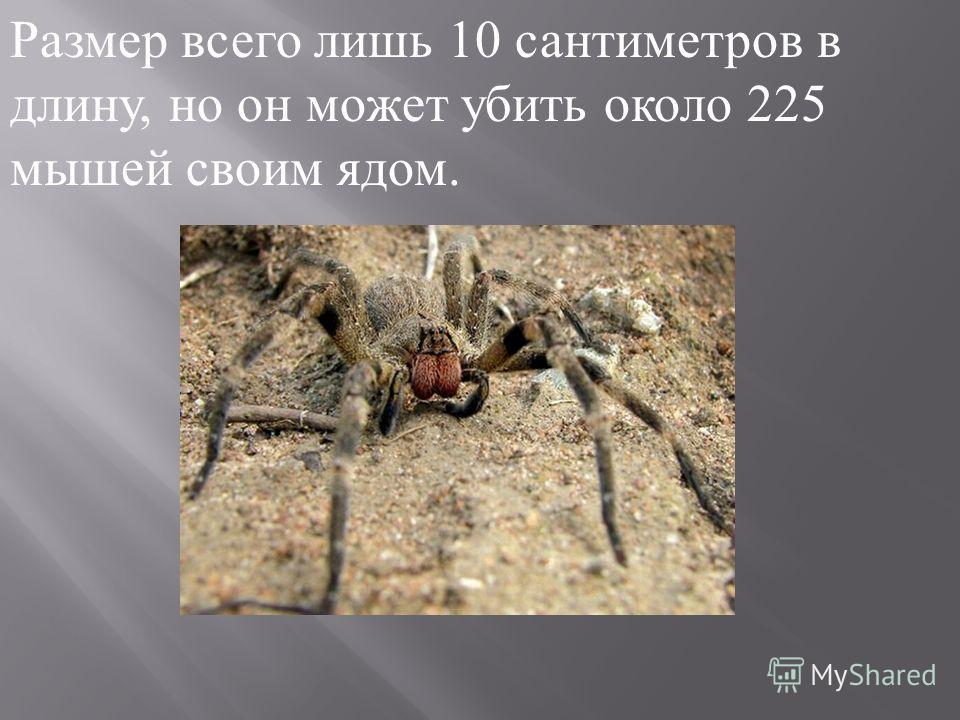 Размер всего лишь 10 сантиметров в длину, но он может убить около 225 мышей своим ядом.