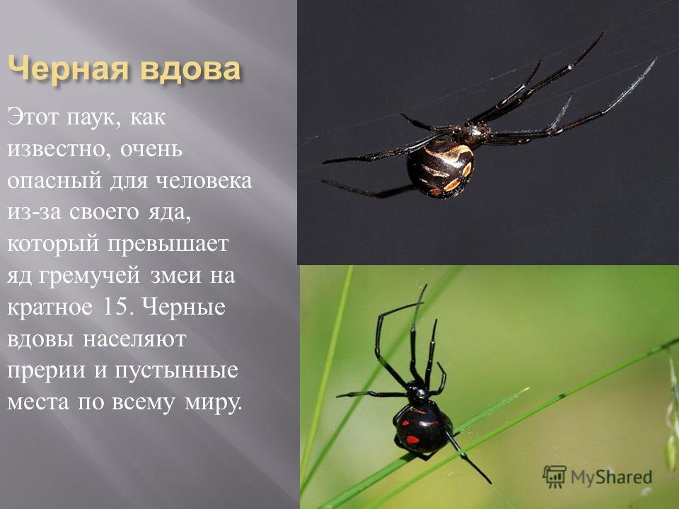 Черная вдова Этот паук, как известно, очень опасный для человека из - за своего яда, который превышает яд гремучей змеи на кратное 15. Черные вдовы населяют прерии и пустынные места по всему миру.