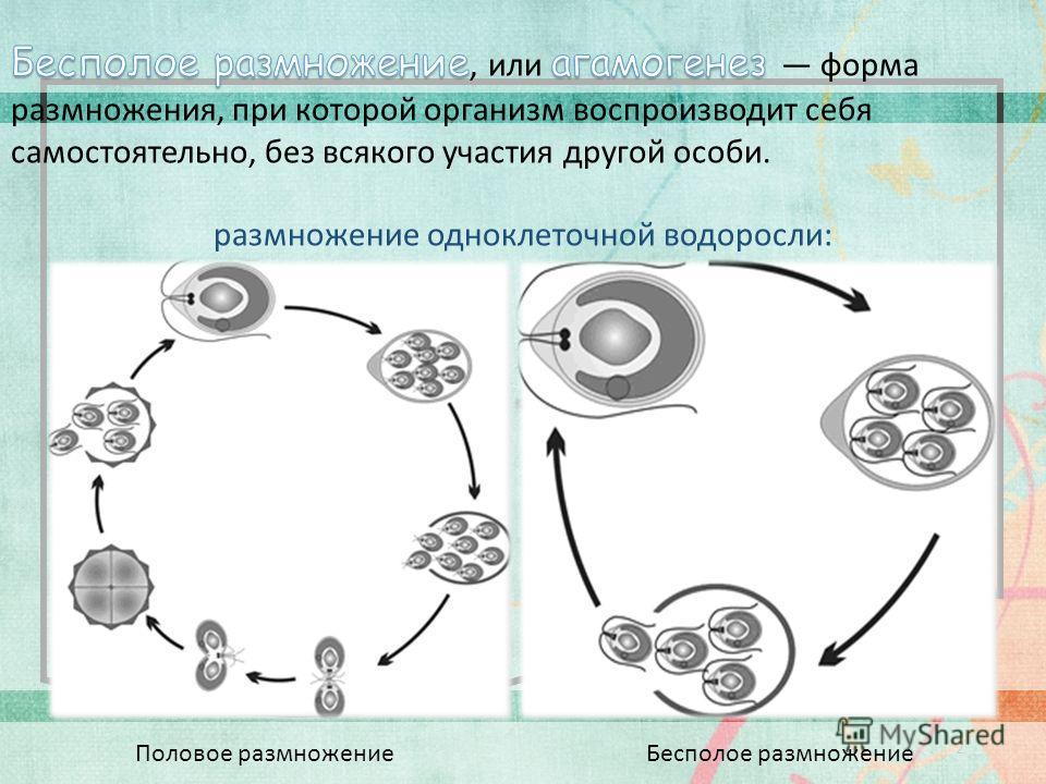 2 Половое размножение Бесполое размножение