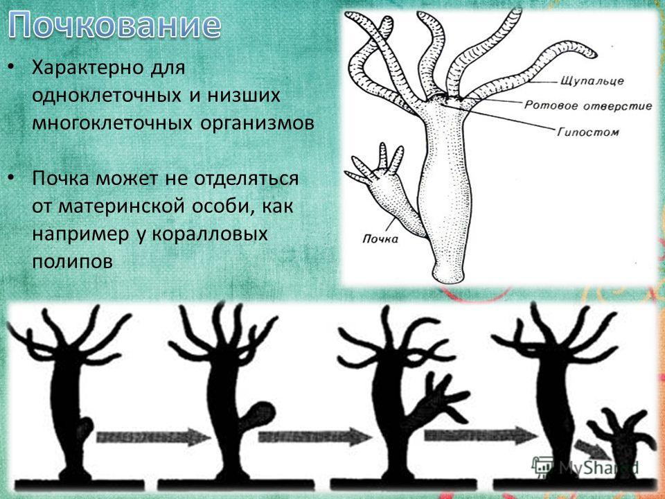 5 Характерно для одноклеточных и низших многоклеточных организмов Почка может не отделяться от материнской особи, как например у коралловых полипов