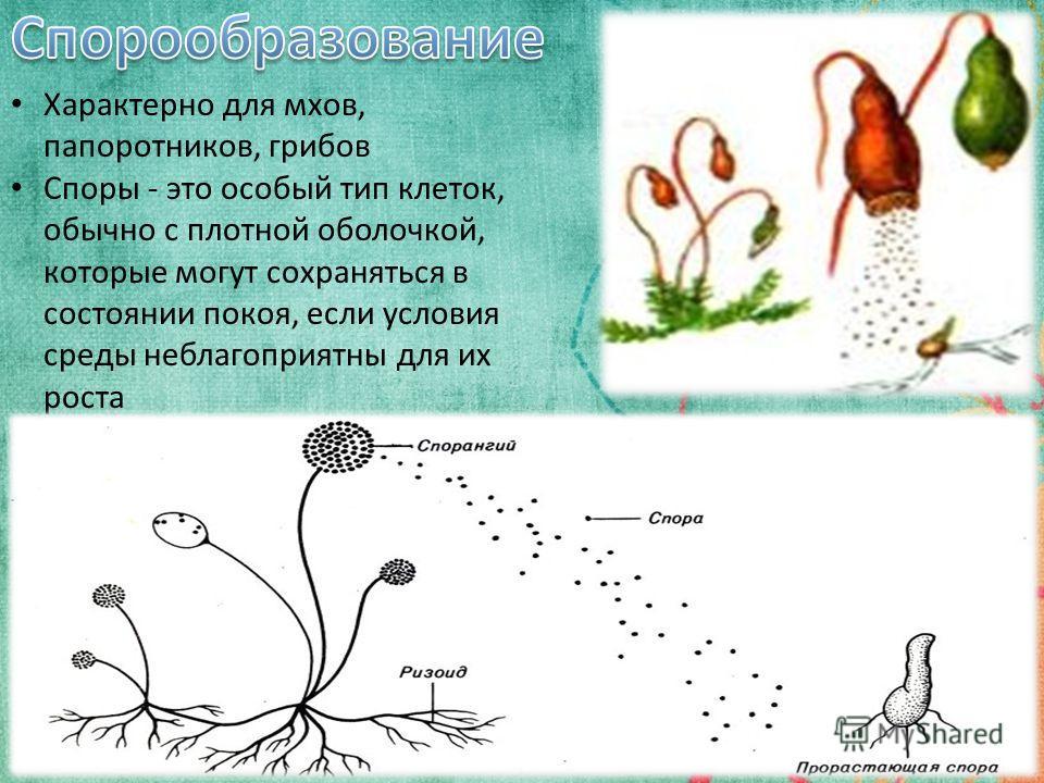 6 Характерно для мхов, папоротников, грибов Споры - это особый тип клеток, обычно с плотной оболочкой, которые могут сохраняться в состоянии покоя, если условия среды неблагоприятны для их роста