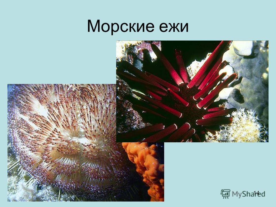 1 октября 2014 г.Яковлева Л.А.14 Морские ежи