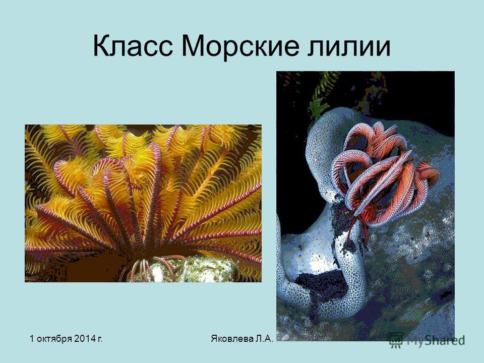 1 октября 2014 г.Яковлева Л.А.4 Класс Морские лилии