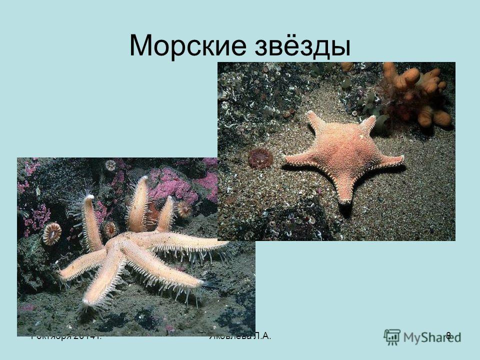 1 октября 2014 г.Яковлева Л.А.8 Морские звёзды