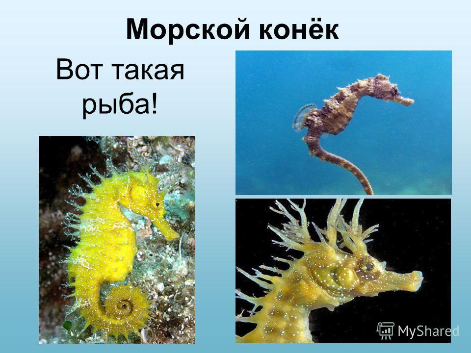 Морской конёк Вот такая рыба!