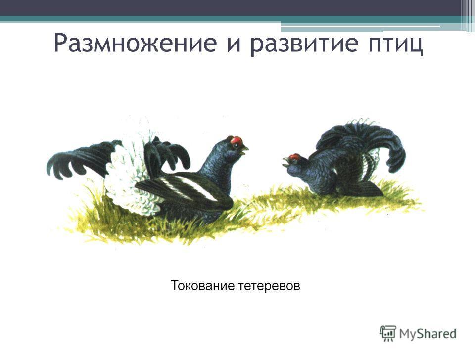 Размножение и развитие птиц Токование тетеревов
