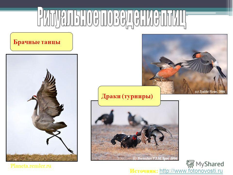Брачные танцы Planeta.remler.ru Источник: http://www.fotonovosti.ruhttp://www.fotonovosti.ru Драки (турниры)