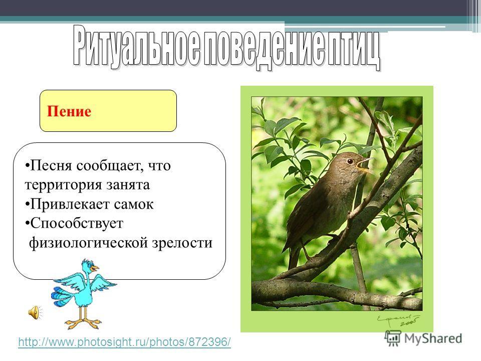 Пение http://www.photosight.ru/photos/872396/ Песня сообщает, что территория занята Привлекает самок Способствует физиологической зрелости