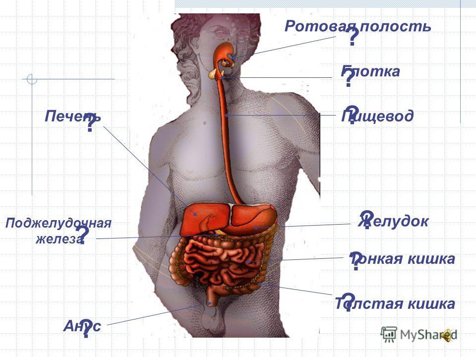 Ротовая полость Глотка Пищевод Желудок Тонкая кишка Толстая кишка Анус Печень Поджелудочная железа ? ? ? ? ? ? ? ? ?