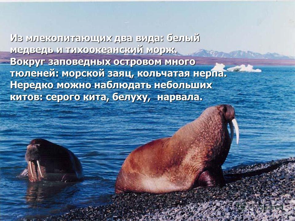 Из млекопитающих два вида: белый медведь и тихоокеанский морж. Вокруг заповедных островом много тюленей: морской заяц, кольчатая нерпа. Нередко можно наблюдать небольших китов: серого кита, белуху, нарвала.