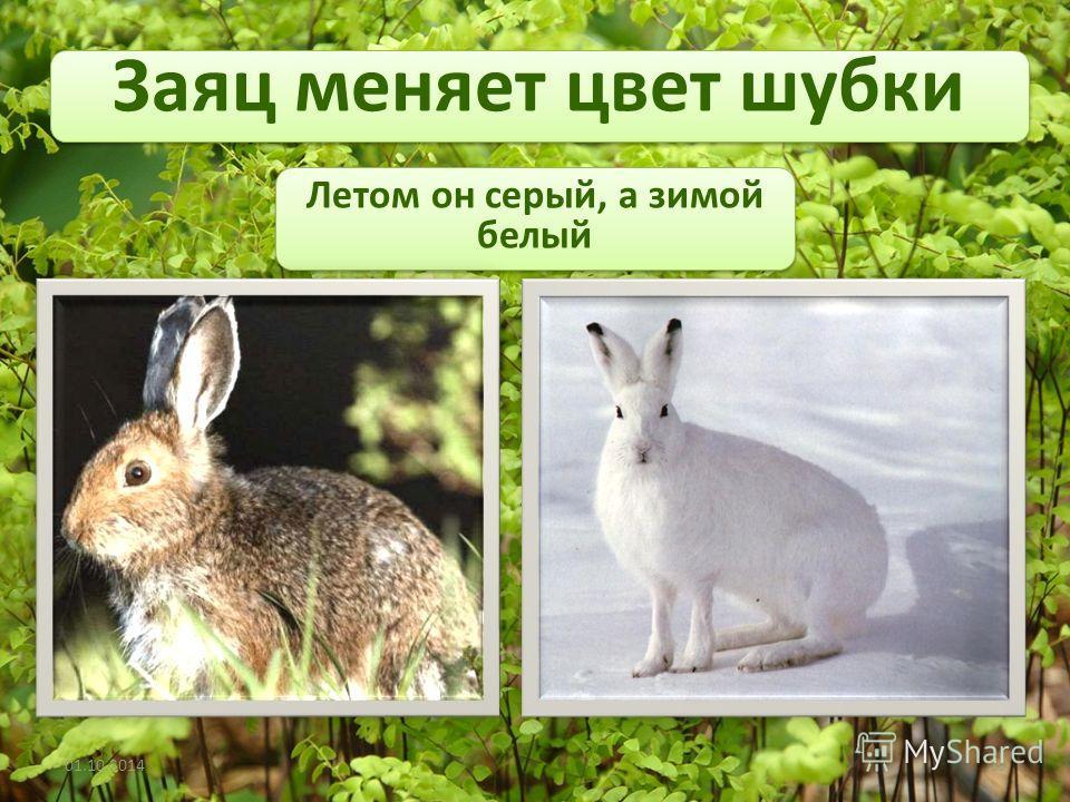 Заяц меняет цвет шубки 01.10.201410 Летом он серый, а зимой белый