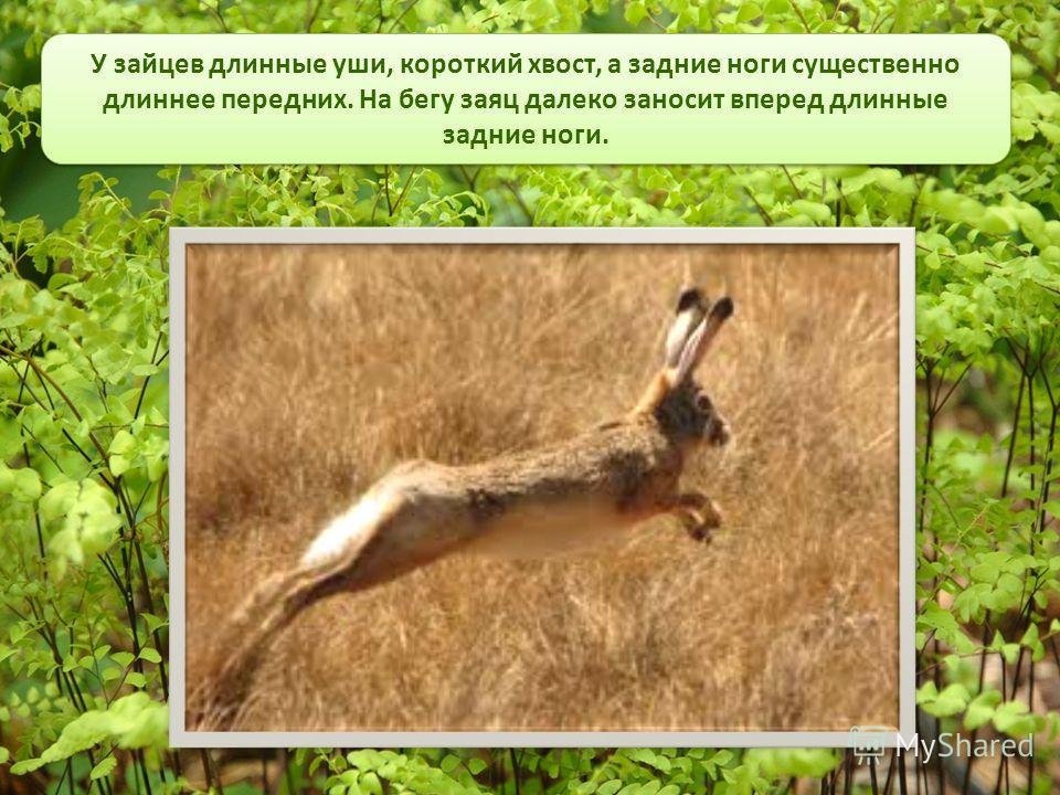 У зайцев длинные уши, короткий хвост, а задние ноги существенно длиннее передних. На бегу заяц далеко заносит вперед длинные задние ноги.