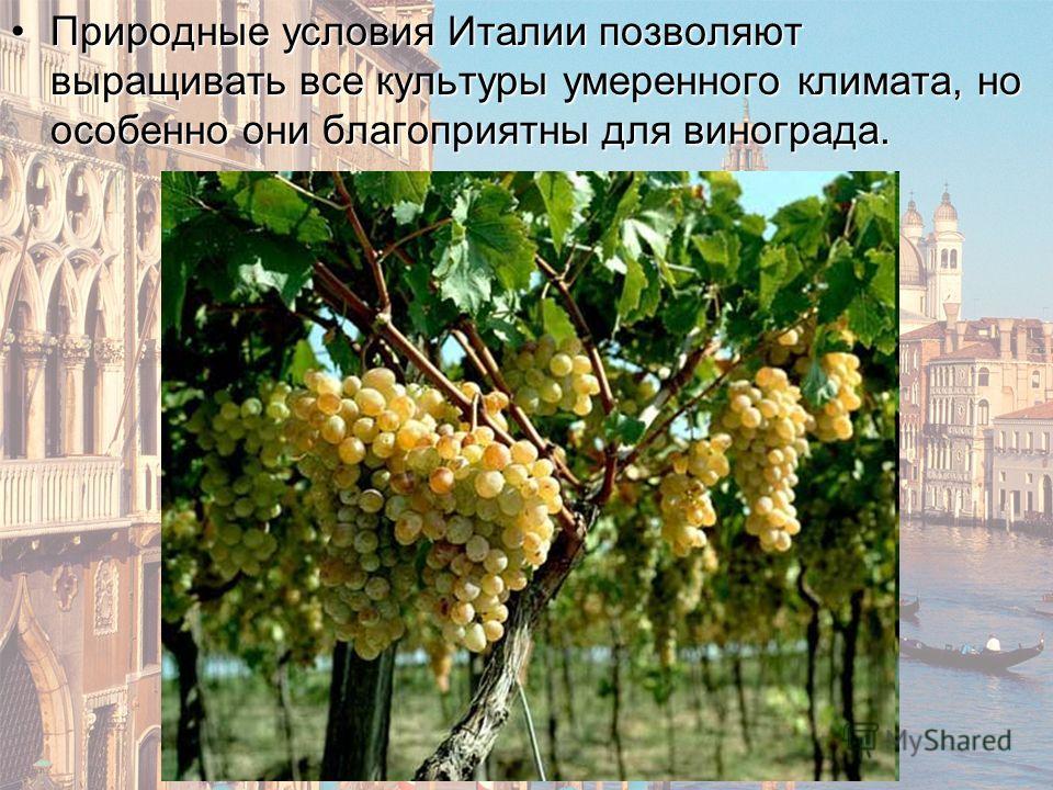 Природные условия Италии позволяют выращивать все культуры умеренного климата, но особенно они благоприятны для винограда.Природные условия Италии позволяют выращивать все культуры умеренного климата, но особенно они благоприятны для винограда.