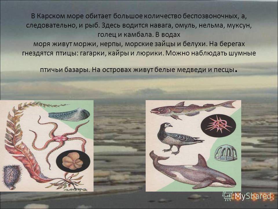 Карское море одно из самых холодных морей России, только близ устьев рек температура воды летом выше 0 °C. Часты туманы и штормы. Бо́льшую часть года море покрыто льдами.России туманыштормы