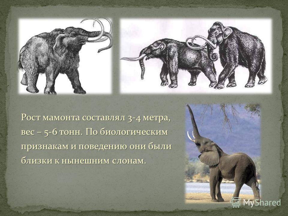 Рост мамонта составлял 3-4 метра, вес – 5-6 тонн. По биологическим признакам и поведению они были близки к нынешним слонам.
