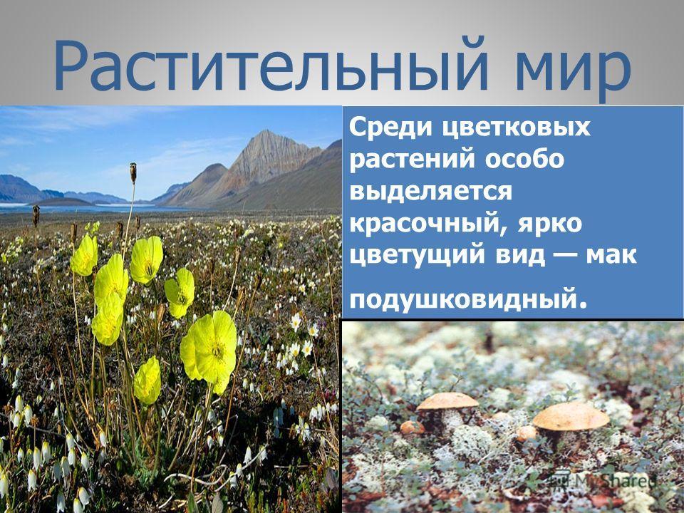 Растительный мир Среди цветковых растений особо выделяется красочный, ярко цветущий вид мак подушковидный.