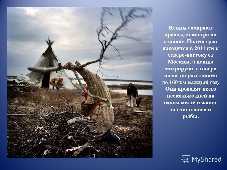 Ненцы собирают дрова для костра на стоянке. Полуостров находится в 2011 км к северо-востоку от Москвы, а ненцы мигрируют с севера на юг на расстояния до 160 км каждый год. Они проводят всего несколько дней на одном месте и живут за счет оленей и рыбы