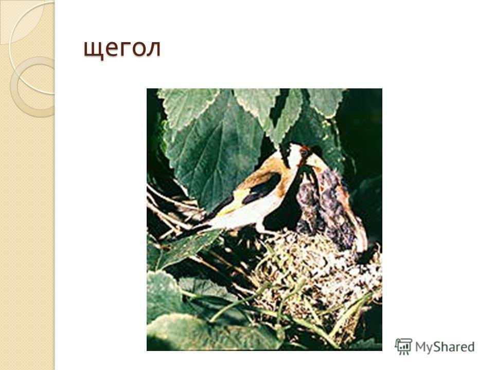 Наряду с чижом, щегол самая популярная комнатная птица. Многие предпочитают щеглов за их красочный, действительно щегольской наряд. Ловят щеглов в период их осенних кочевок, кроя их сетью на птицеловном точке, используя приманку из семян репейника и