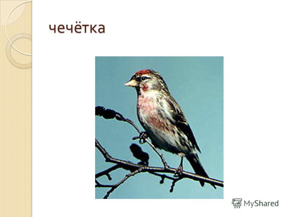 ЧЕЧЕТКА (Acanthis flammea), птица семейства вьюрковых. Немного мельче воробья ( длина тела до 14 см ). Лоб и передняя часть темени, зоб и грудь малиново - красные, на горле небольшое черное пятно. Спинная сторона серовато - бурая, брюшная белая. Самк