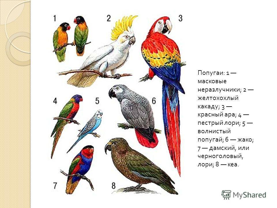 Многие мелкие попугаи хорошо размножаются в неволе, даже при клеточном содержании. Основную трудность для большинства видов представляет не кормление и создание особых условий, а подбор пар, так как некоторые виды очень разборчивы и ни за что не стан