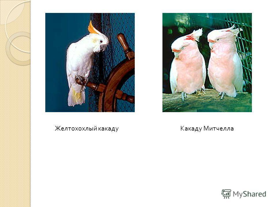 Белохохлый какаду (Psyctolophus albus) Птица чисто белого цвета с черным клювом. Все белохохлые кротки и послушны, но к разговору они мало способны. Зато не так крикливы, как другие какаду. Молуккский какаду (Psyctolophus moluccensis) Красивая птица
