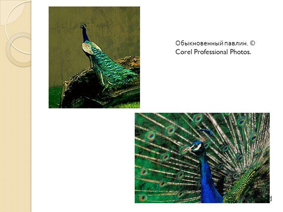 ПАВЛИН ОБЫКНОВЕННЫЙ (Pavo cristatus), птица рода павлинов. Принадлежит к числу наиболее крупных представителей отряда куриных. Телосложение крепкое, шея длинная, голова маленькая со своеобразным хохолком, крылья короткие, высокие ноги и средней длины