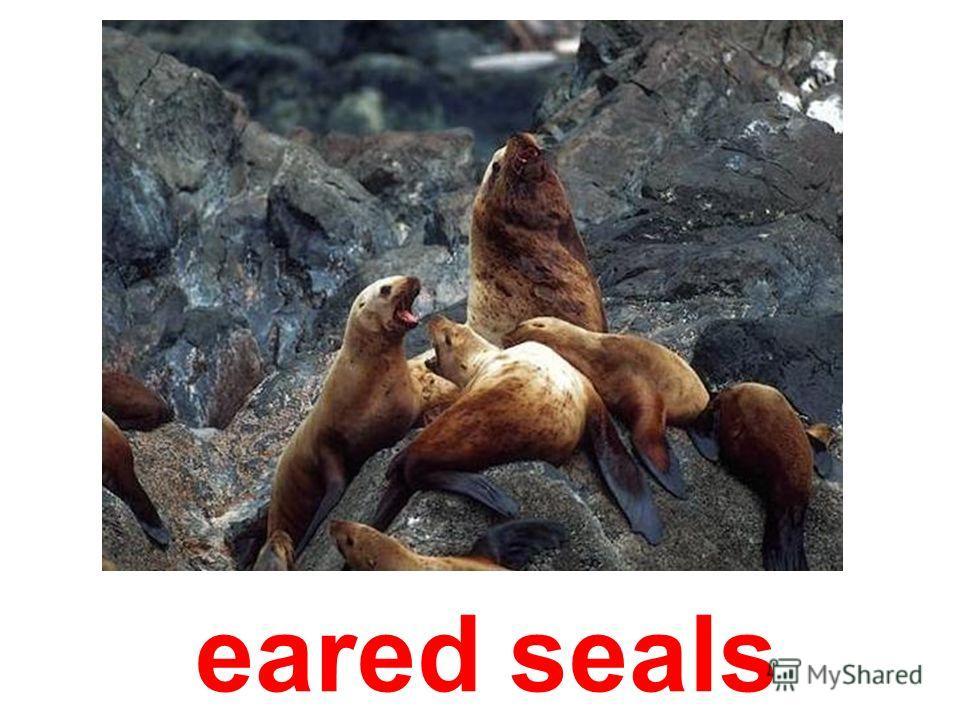 Antarctic fur-seals