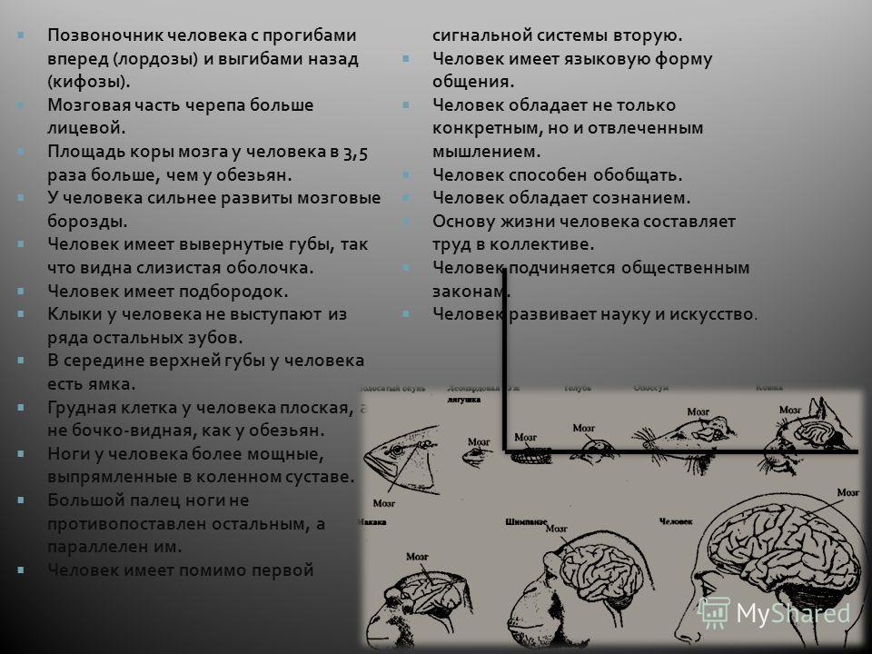 Позвоночник человека с прогибами вперед (лордозы) и выгибами назад (кифозы). Мозговая часть черепа больше лицевой. Площадь коры мозга у человека в 3,5 раза больше, чем у обезьян. У человека сильнее развиты мозговые борозды. Человек имеет вывернутые г