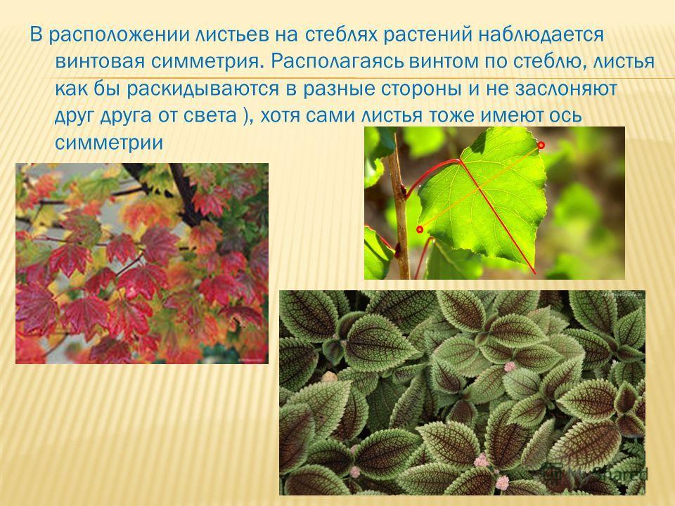В расположении листьев на стеблях растений наблюдается винтовая симметрия. Располагаясь винтом по стеблю, листья как бы раскидываются в разные стороны и не заслоняют друг друга от света ), хотя сами листья тоже имеют ось симметрии