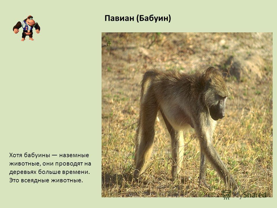 Павиан (Бабуин) Хотя бабуины наземные животные, они проводят на деревьях больше времени. Это всеядные животные.