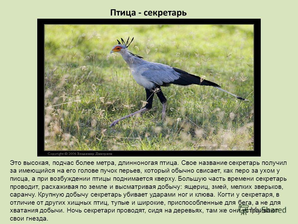 Птица - секретарь Это высокая, подчас более метра, длинноногая птица. Свое название секретарь получил за имеющийся на его голове пучок перьев, который обычно свисает, как перо за ухом у писца, а при возбуждении птицы поднимается кверху. Большую часть