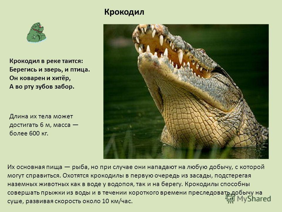 Крокодил Длина их тела может достигать 6 м, масса более 600 кг. Их основная пища рыба, но при случае они нападают на любую добычу, с которой могут справиться. Охотятся крокодилы в первую очередь из засады, подстерегая наземных животных как в воде у в