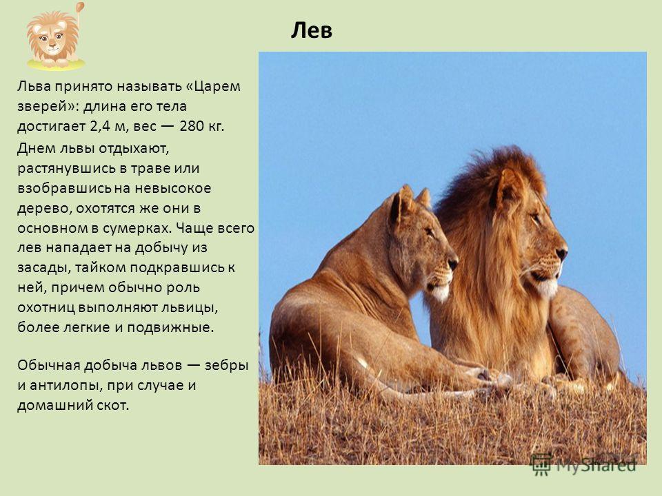 Льва принято называть «Царем зверей»: длина его тела достигает 2,4 м, вес 280 кг. Днем львы отдыхают, растянувшись в траве или взобравшись на невысокое дерево, охотятся же они в основном в сумерках. Чаще всего лев нападает на добычу из засады, тайком
