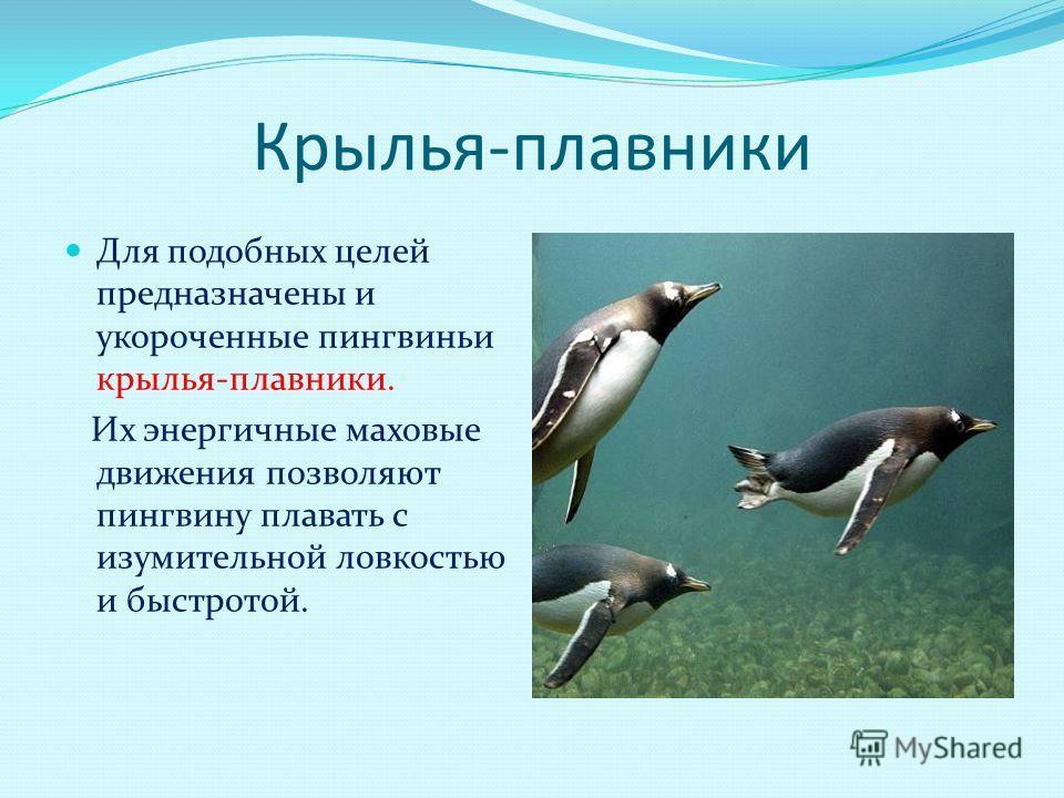 Крылья-плавники Для подобных целей предназначены и укороченные пингвиньи крылья-плавники. Их энергичные маховые движения позволяют пингвину плавать с изумительной ловкостью и быстротой.