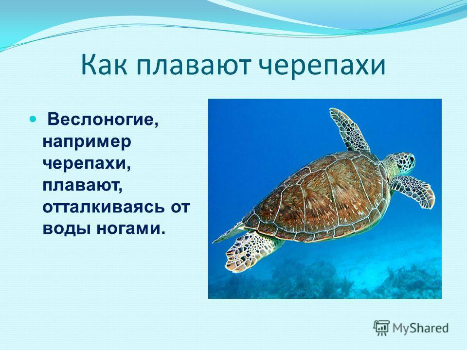 Как плавают черепахи Веслоногие, например черепахи, плавают, отталкиваясь от воды ногами.